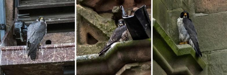 GB_150708 Yhdistynyt kuningaskunta_0155+0078+0084 Muuttohaukat Derbyn katedraalin tornissa Derbyshiressa