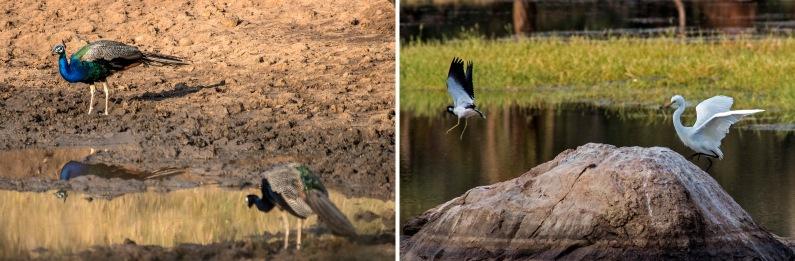 IN_151029 Intia_0704 Riikinkukot Ranthambhoren kansallispuistoss