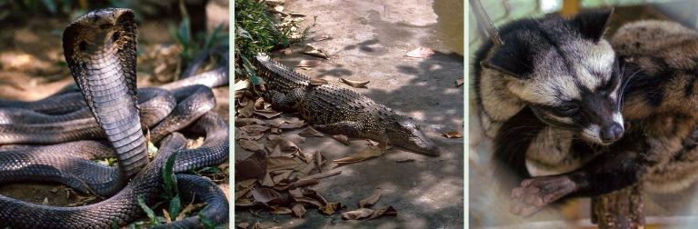 VN220426 Vietnam Kobra käärmefarmilla Dong Tamissa