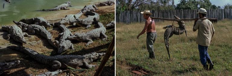 CU258019 Kuuba Cocodrilo Minasin krokotiilifarmi Camagüeyn prov