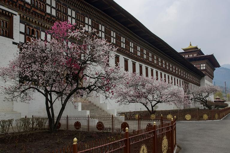 BT_180317 Bhutan_0142 Kirsikkapuut kukassa Thimphun Tashichho Dz