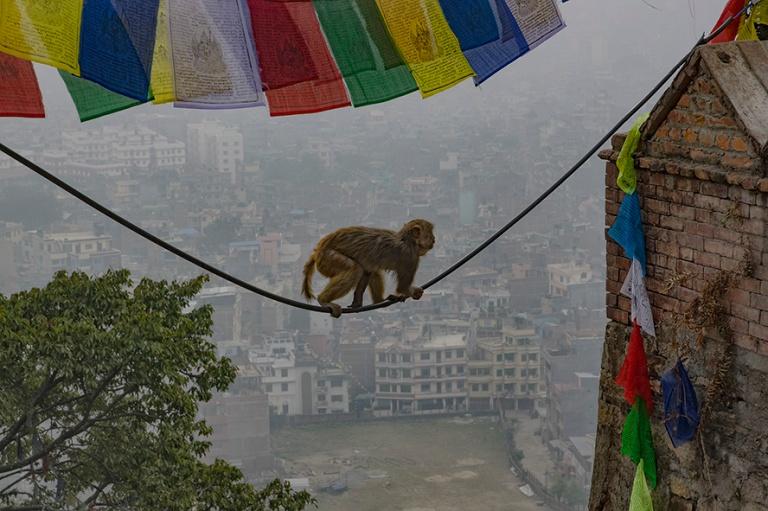 NP_180315 Nepal_0101 Makaki Swayambhunathin temppelialueella Kat