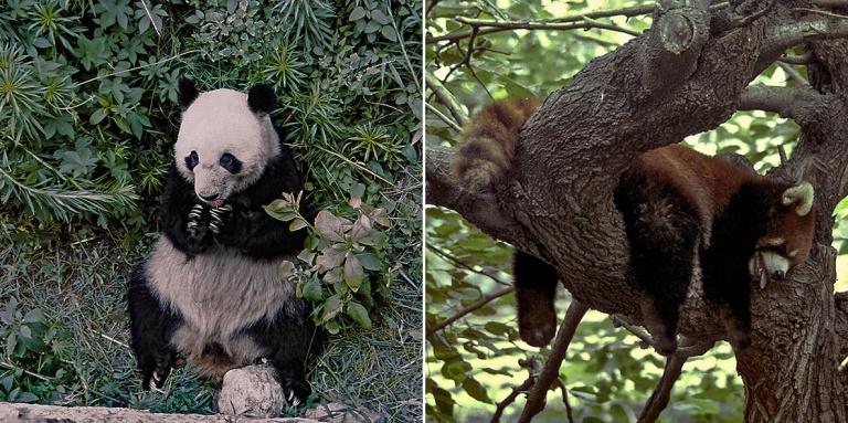 CN490021 Kiina Panda Pekingin eläintarhassa 2002