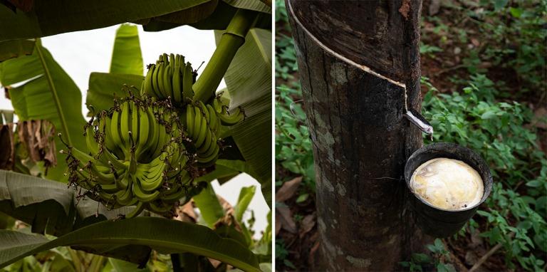 GH_190106 Ghana_0049 Banaaniviljelmä Centralin hallintoalueella