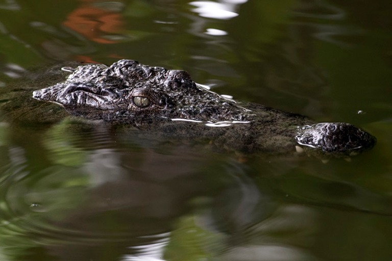 GH_190107 Ghana_0487 Krokotiili Fosu Lagoonissa Cape Coastissa