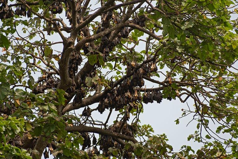 BJ_190110 Benin_0271 Lepakoita Kpassén salaisessa metsässä Ou