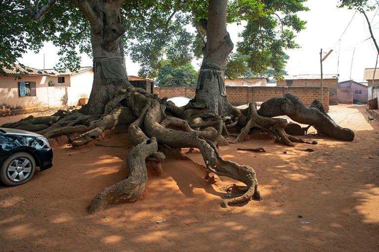 TG_190109 Togo_0396 Togovillen pyhät irokopuut