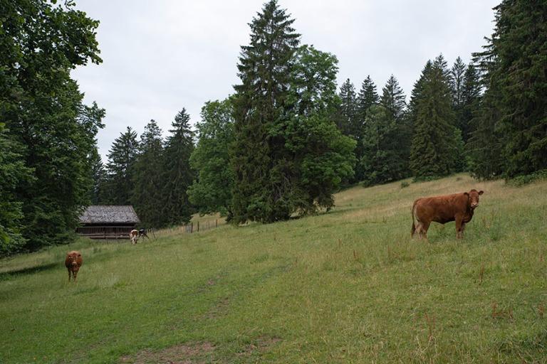 CH_190711 Sveitsi_0195 Nautakarjaa läntisessä Juran kantonissa