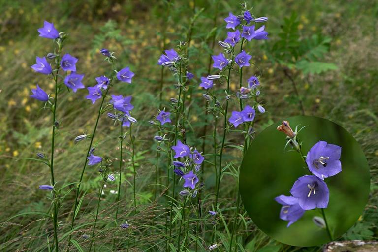 FI_200704 Suomi_0046 Kurjenkelloja Päijänteen kansallispuiston